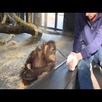 Se lige denne abe efter trylletrick